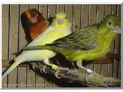 Певчие канарейки (самцы, самки, пары)