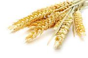 Продаю пшеницу фуражную на экспорт.