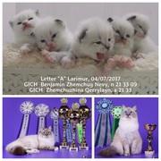 Котятки от невских маскарадных GICH