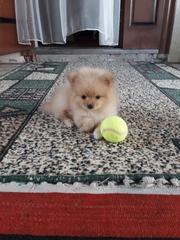 продам недорого двух щенят мини-шпица