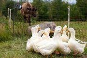 Фермы разведения уток и гусей